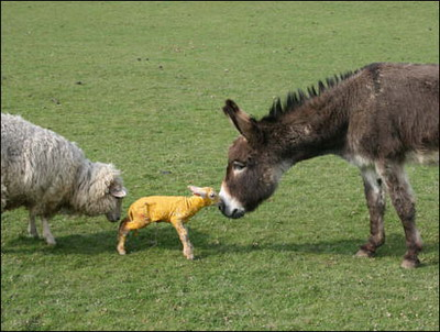 Sheep Meets Donkey S