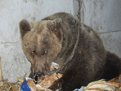 Endangered bears in Serbia