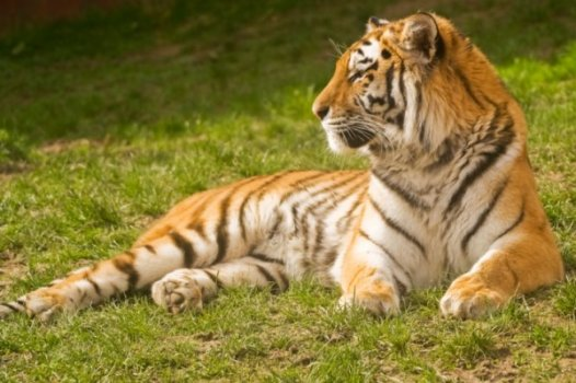 Sibirski_tigar.jpg
