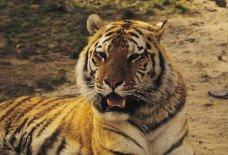 Tigar.jpg