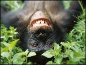 Bonobo M