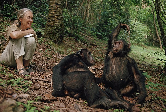 jane goodall chimps laughing 1b