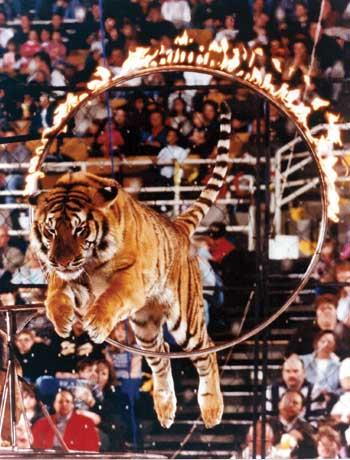 Animals Tiger V