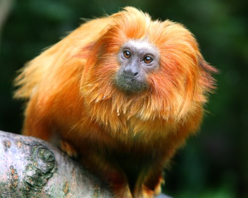 Golden Lion Tamarin 2 Sr