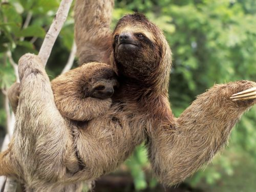 Three Toed Sloth Sr