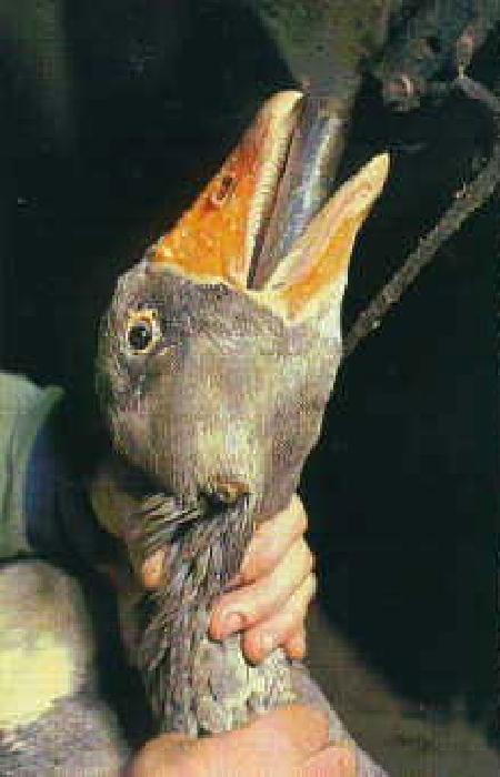 Foie Gras 5 1