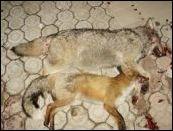 Ubijeni Predatori