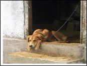 Chained Dog2 M