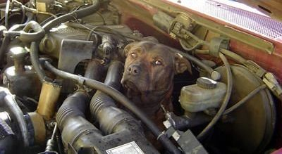 Dog Stuck In A Car Engine