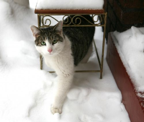 Feral Cat Snow